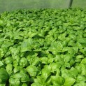 Herb Pack Basil