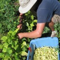 Picking Yellow Wax Beans