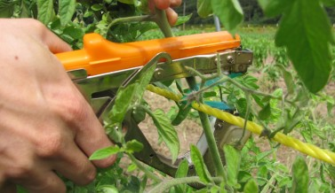 Trellising tomatoes with our tapener gun