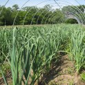 Garlic in the High Tunnel