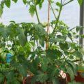 Patio Veggies Pots for Sale