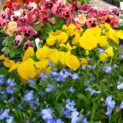 Pansy Color